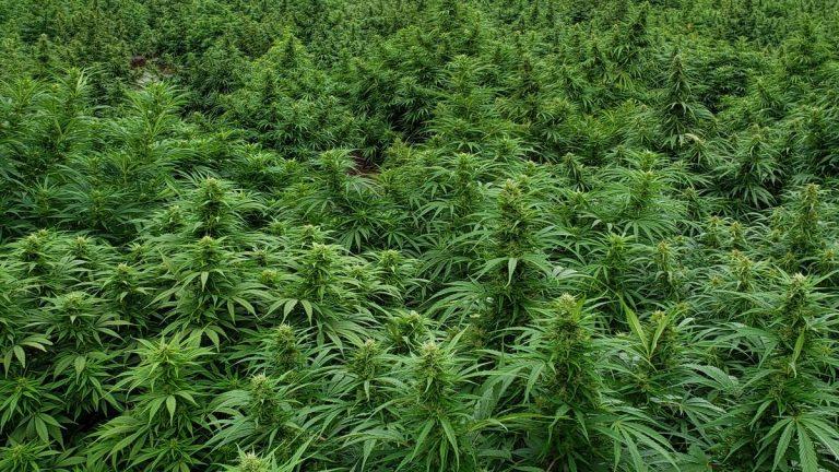 Oregon hemp growers get a break from Congress on harvest rules