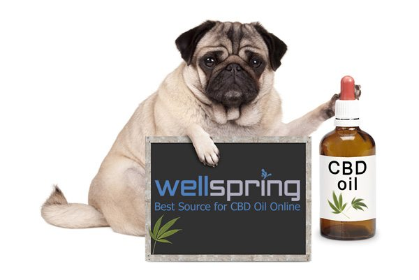 lovely cute pug puppy dog sitting down with bottle of CBD oil for pets and blackboard sign, - WellspringCBD.com