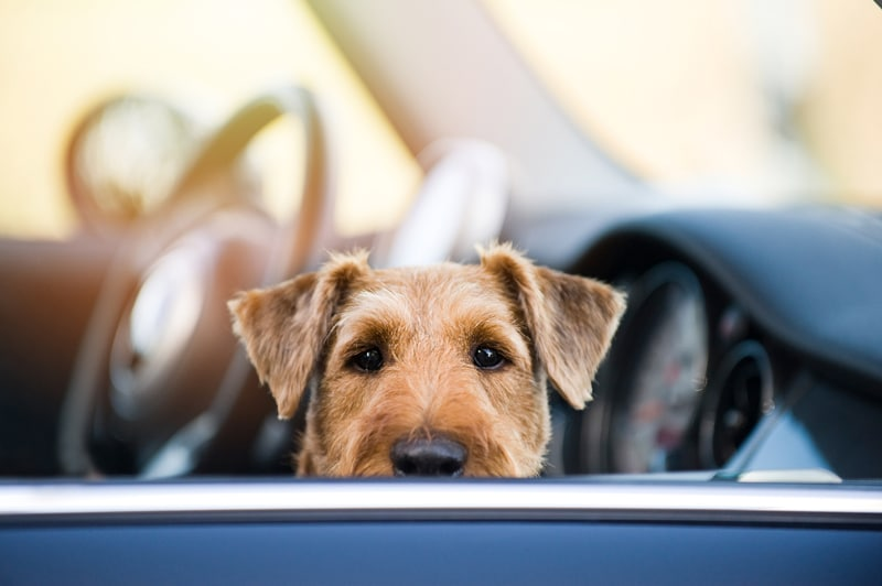 CBD for car anxiety in pets