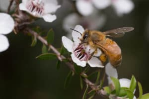 manuka flower being pollinated by a bee